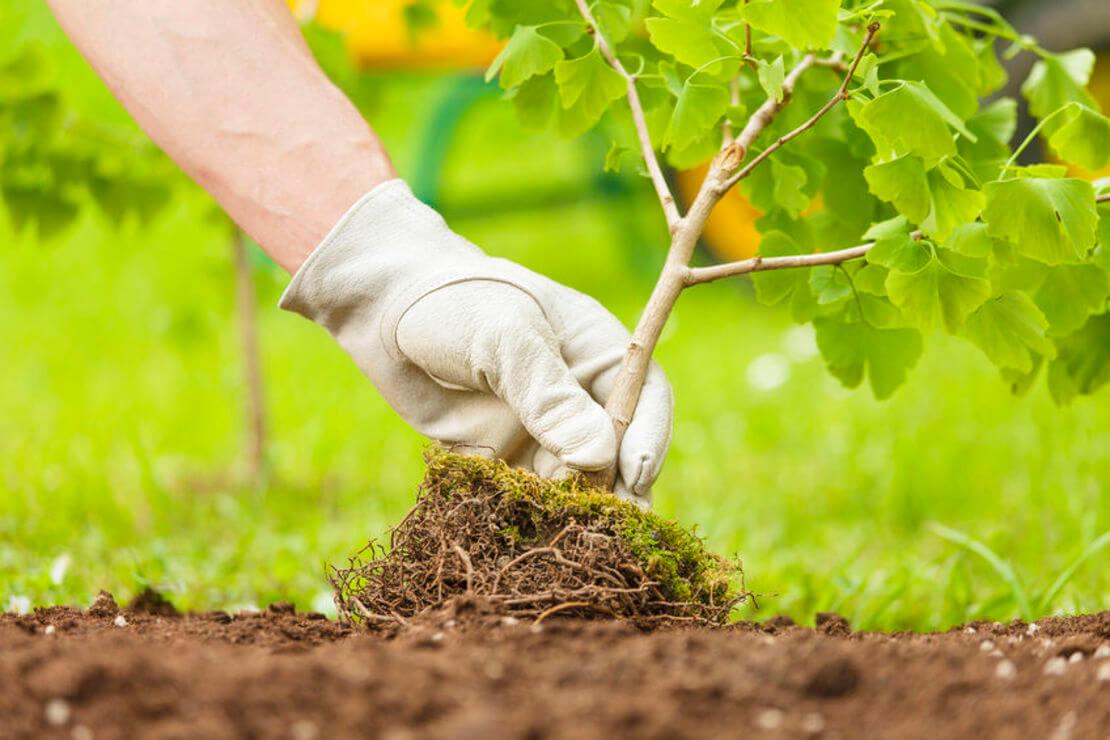 Осенью 900 деревьев высадят в Туле