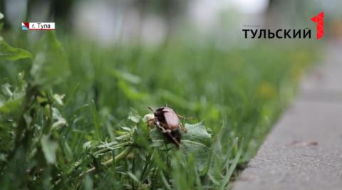 Тулу атаковали майские жуки